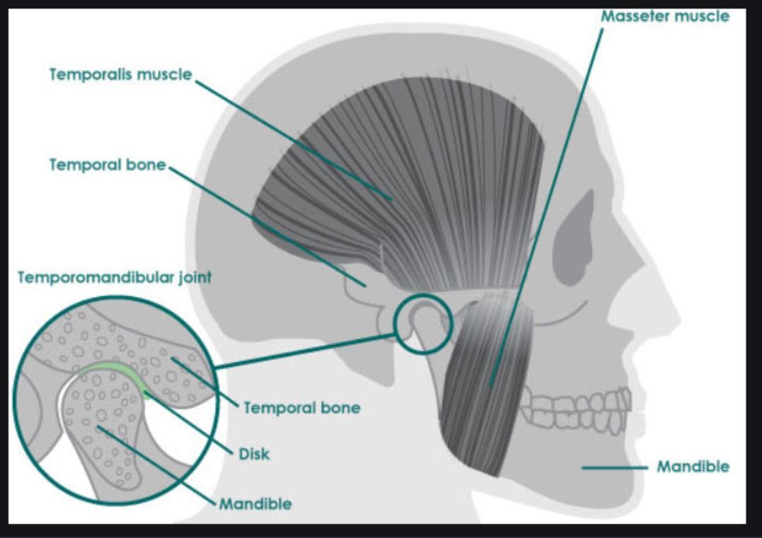 Head_TMJ_Anatomy-1077x761