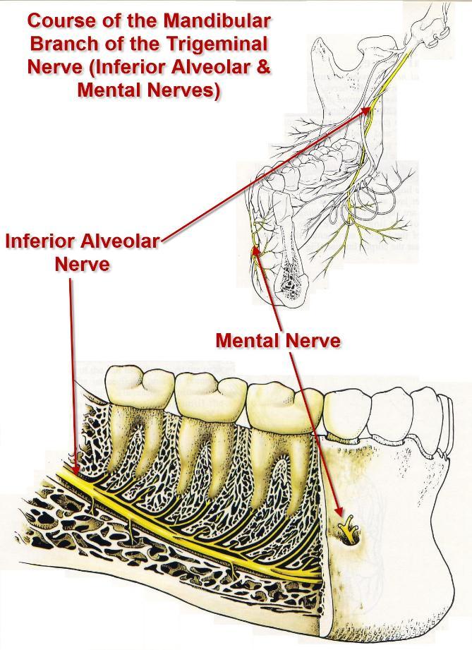 Inferior_Alveolar_Mental_Nerves-669x921