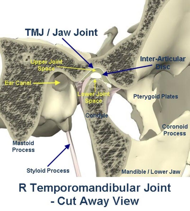 Right_temporomandibular_joint_-_cutaway_view-801x886