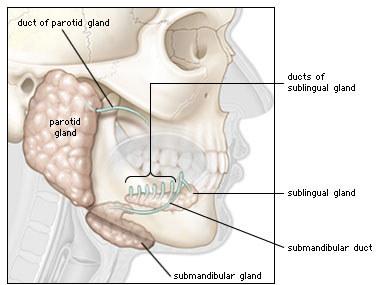 Diagram showing the major salivary glands (parotid, sub-mandibular & sub-lingual glands)